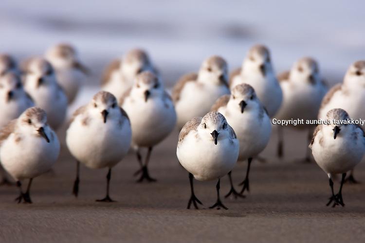 Sanderlings marching up the beach, Calidris alba, Santa Barbara, California