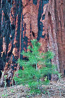 Small fir tree next to Sequoia Redwood tree. Sequoia National Park, California