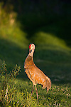 Sandhill crane preening