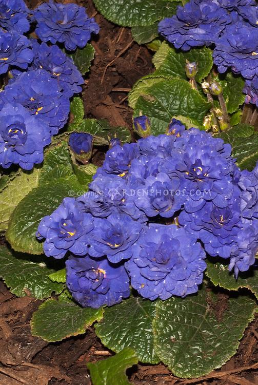 Vivid blue flowers of double flowered perennial Primula 'Belarina Cobalt Blue'