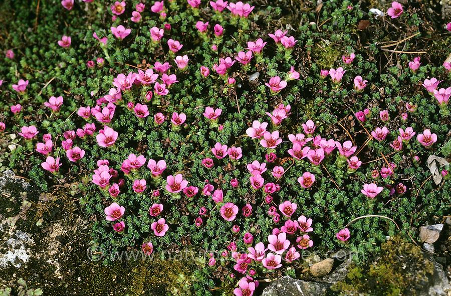 Gegenblättriger Steinbrech, Roter Polstersteinbrech, Roter Steinbrech, Saxifraga oppositifolia, Purple saxifrage, purple mountain saxifrage