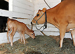 Newborn calf with mama at Cheshire Fair in Swanzey, New Hampshire USA