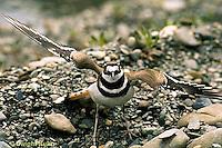 1K05-001z  Killdeer - adult broken wing act - Charadrius vociferus