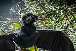 Anhinga in breeding colors  drying its wings