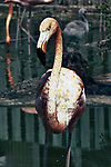 caribbean flamingo, close-up single bird