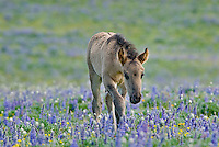 Wild Horse or feral horse (Equus ferus caballus) colt.  Western U.S., summer.