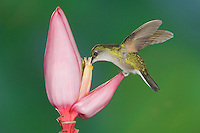 Black-bellied Hummingbird, Eupherusa nigriventris, female feeding on Ornamental Banana plant flower(Musa velutina), Central Valley, Costa Rica, Central America