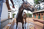 """A horse being """"cooled off"""" with bucketed water after finishing a race at Ngong Racecourse."""