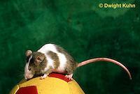 MU60-039z  Pet mouse - exploring