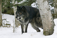 Grey wolf wataching intently from behind a tree - CA