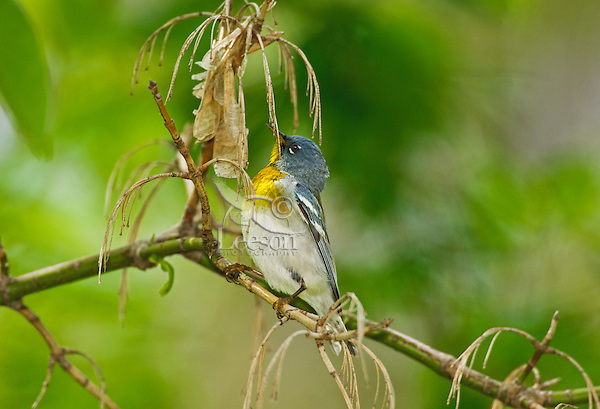 """Northern Parula (Parula americana) male rests in mixed forest along Lake Erie shoreline near Canada and USA border during annual spring migration from Caribbean and Central American wintering areas to summer breeding grounds in southeastern Canada and northeastern USA, where it nests primarily in hanging """"beard moss"""" or Usnea lichen."""
