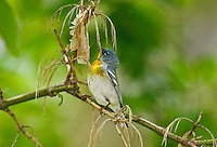 "Northern Parula (Parula americana) male rests in mixed forest along Lake Erie shoreline near Canada and USA border during annual spring migration from Caribbean and Central American wintering areas to summer breeding grounds in southeastern Canada and northeastern USA, where it nests primarily in hanging ""beard moss"" or Usnea lichen."