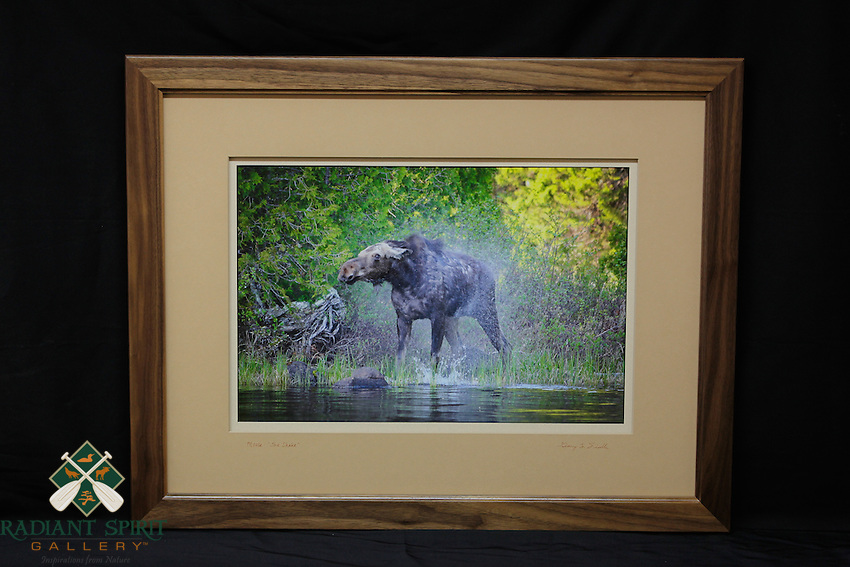 """""""Moose: The Shake"""", hand-made walnut frame, conservation grade matting, TruVue Museum Glass. Contact us for availability."""