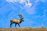 Large Bull Rocky Mountain Elk (Cervus canadensis nelsoni) walking ridgeline.  Western U.S., fall.