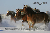 Bob, ANIMALS, REALISTISCHE TIERE, ANIMALES REALISTICOS, horses, photos+++++,GBLA4382,#a#, EVERYDAY