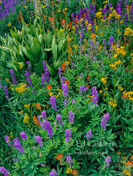 Groundsel, Paintbrush, Lupin, Horse Meadow, Emigrant Wilderness, Stanislaus National Forest, Sierra Nevada Mountains, California