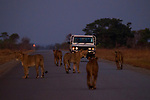 African Lion (Panthera leo) females walking on road with vehicle approaching, Kafue National Park, Zambia