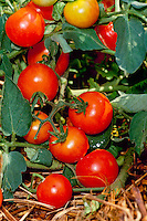 Fresh vine ripened Cherry tomatoes ready for picking from home garden