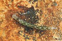 Dunkelmücke, Larve im Wasser, Thaumalea spec., solitary midge, trickle midge, larva, larvae, Dunkelmücken, Thaumaleidae, solitary midges, trickle midges