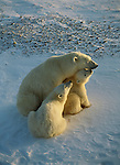 Polar bear cubs nuzzle their resting mother in Hudson Bay, Churchill, Manitoba, Canada.