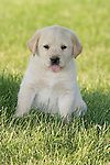 Yellow Labrador retriever (AKC) sitting in the grass