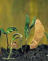 MP02-005z  Sugar Maple - seedlings - Acer saccharum