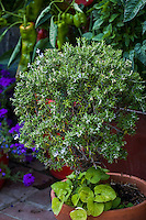 Rosemary (Rosemarinus officinalis) culinary herb, small shrub pruned in container fro small space garden