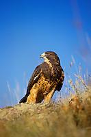 Swainson's Hawk (Buteo swainsoni), Western U.S.