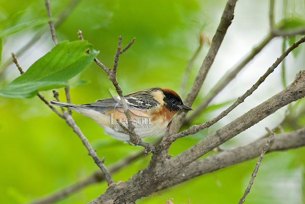 Bay-breasted Warbler male (Dendroica castanea)