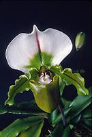 Paphiopedilum Bruno 'Model' orchid hybrid of Leeanum x spicerianum