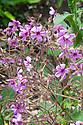 Geranium palmatum (syn. Geranium anemonifolium), early July. Native to Madeira.