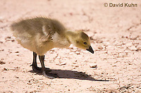 0224-1206  Canadian Gosling Foraging for Food (Canada Goose, Canadian Goose), Branta canadensis  © David Kuhn/Dwight Kuhn Photography
