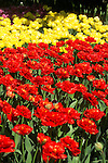 a closeup image filling the frame with fancy bright red double tulips and fancy yellow double tulips in full sun in a commercial field display garden in Mt. Vernon, WA in the Skagit Valley of Washington state