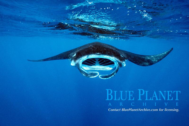 reef manta ray, Mobula alfredi, feeding on plankton, Nuku Hiva, Marquesas Islands, French Polynesia, Pacific Ocean