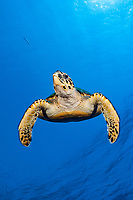 Hawksbill Sea Turtle, Eretmochelys imbricata, Elphinstone, Red Sea, Egypt