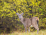 Young white tail buck.