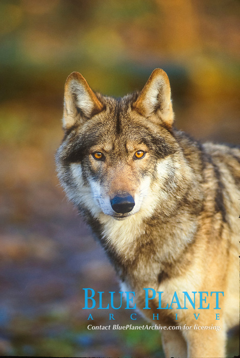 Timber Wolf (Canis lupus), portrait