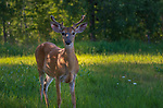 Young white-tailed buck standing in a northern Wisconsin meadow.