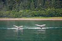 humpback whales, Megaptera novaeangliae, surfacing, Chatham Strait, Alaska, USA, Pacific Ocean