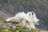 "Shedding Mountain Goat (Oreamnos americanus) on edge of alpine meadow in the Beartooth Mountains near the Wyoming/Montana border.  This goat is shedding its heavy winter coat of fur to a new ""summer weight"" fur coat which will grow long again for the next winter.    Summer."