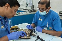 "United Arab Emirates (UAE). Abu Dhabi Falcon Hospital. Two veterinarians and a falcon with bird's head into a tube, through which an anaesthetic gas induces the falcon to sleep. Both men check the general hawk 's health and take some blood samples to analyse it. The hospital is considered the leading center in the world for falcon medical care. It is equipped with everything a hospital requires for treating humans, except that the patients have wings. Falcons are birds of prey in the genus Falco, which includes about 40 species. Adult falcons have thin, tapered wings, which enable them to fly at high speed and change direction rapidly. Additionally, they have keen eyesight for detecting food at a distance or during flight, strong feet equipped with talons for grasping or killing prey, and powerful, curved beaks for tearing flesh. Falcons kill with their beaks, using a ""tooth"" on the side of their beaks. The United Arab Emirates (UAE) is a country in Western Asia at the northeast end of the Arabian Peninsula. 19.02.2020  © 2020 Didier Ruef"