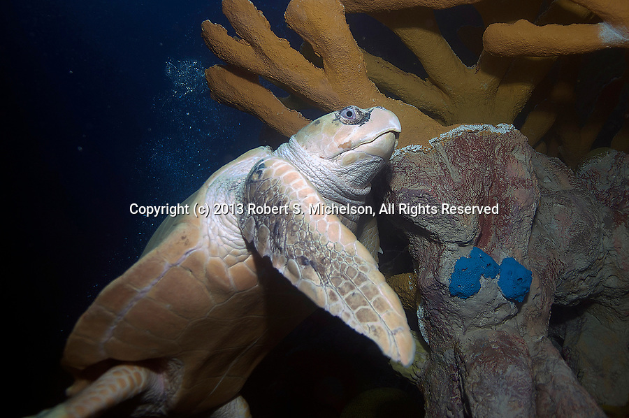 Kemps Ridley Sea Turtle on top of reef near surface