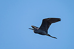 Damon, Texas; a little blue heron flying overhead with its wings spread in late afternoon sunlight against a blue sky