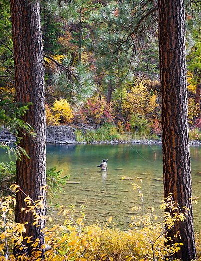 Fly fishing on the Blackfoot River in autumn near Missoula, Montana