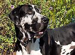 Harlequin Great Dane, San Luis Obispo, California