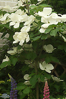 Flowering Dogwood Venus hybrid