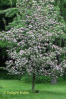 TT20-502z  Toba Hawthorn Tree in bloom, Crataegus x mordenensis
