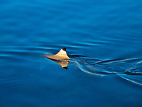 blacktip reef shark, Carcharhinus melanopterus, cruising the shallow waters of Moorea, French Polynesia, South Pacific Ocean