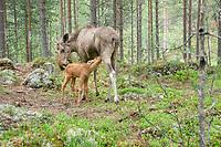 Cow elk with calf (alces alces)