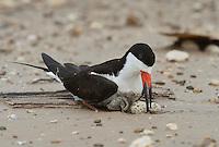 Black Skimmer (Rynchops niger), adult with egg on nest, Port Isabel, Laguna Madre, South Padre Island, Texas, USA